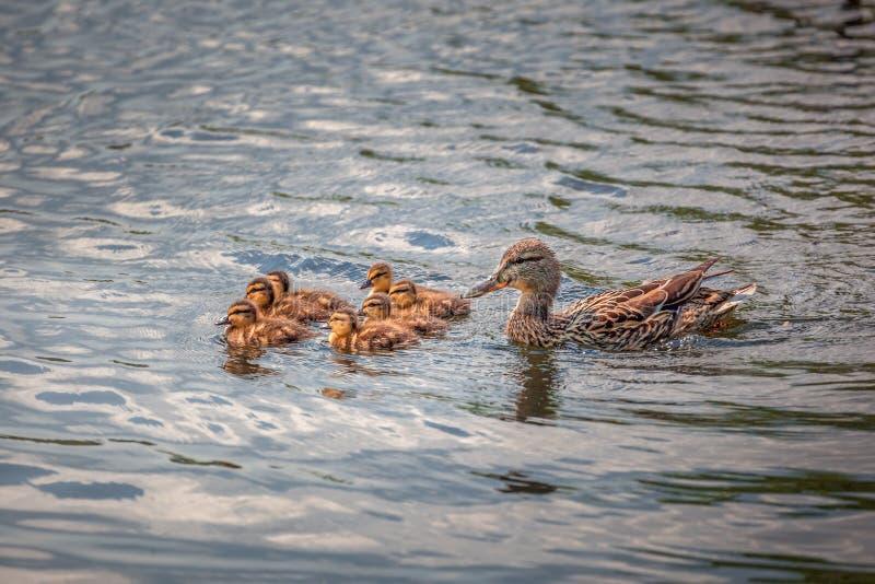 Leuke eendfamilie die samen zwemmen stock foto