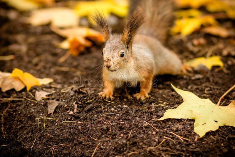Leuke en hongerige eekhoorn die een kastanje in de herfstscène zoeken Het park van de stad Wilde dieren in de herfst, exemplaarru stock afbeelding