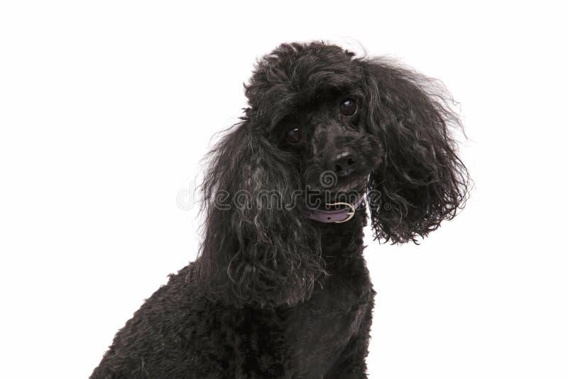 Leuke en nieuwsgierige zwarte poedel stock afbeelding