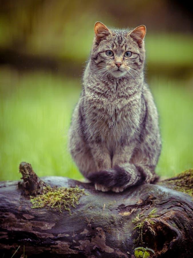 Leuke Europese wilde kat met distictive staart in uitstekende kleuren royalty-vrije stock fotografie
