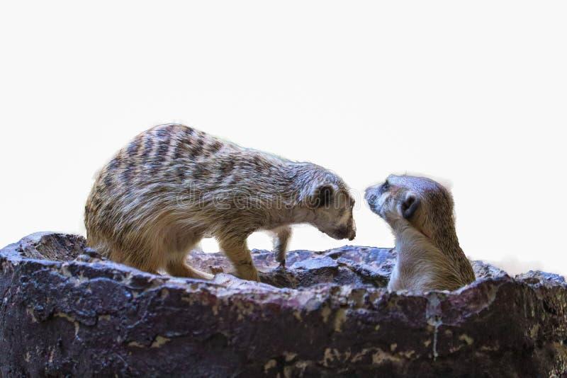 Leuke geïsoleerde Meerkat stock foto's