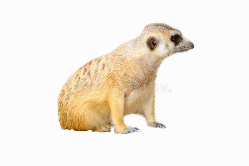 Leuke ge?soleerde Meerkat stock fotografie