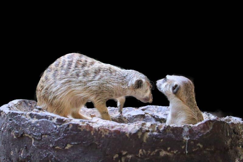 Leuke ge?soleerde Meerkat stock foto's