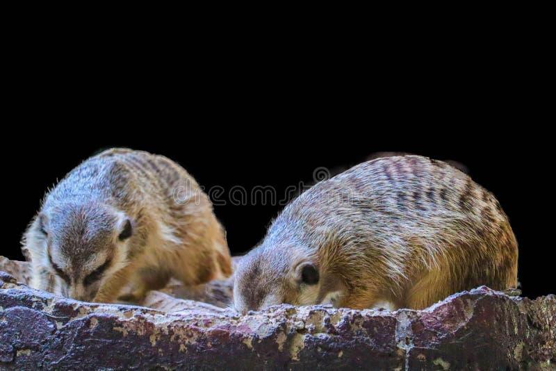 Leuke ge?soleerde Meerkat stock afbeeldingen