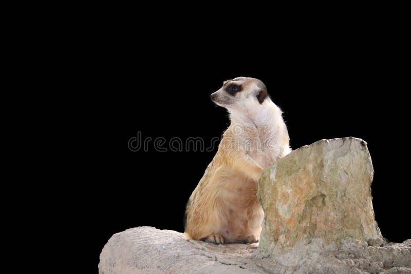 Leuke ge?soleerde Meerkat stock afbeelding