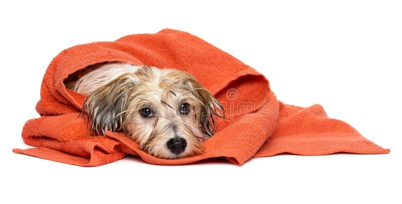 Leuke gebade havanese die puppyhond in een oranje handdoek wordt verpakt stock afbeelding