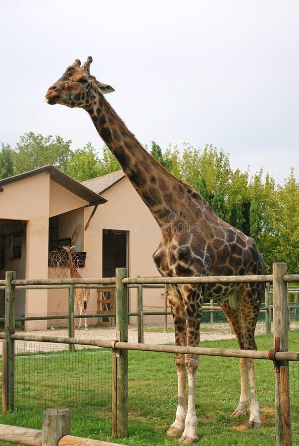 Leuke girafee royalty-vrije stock afbeelding