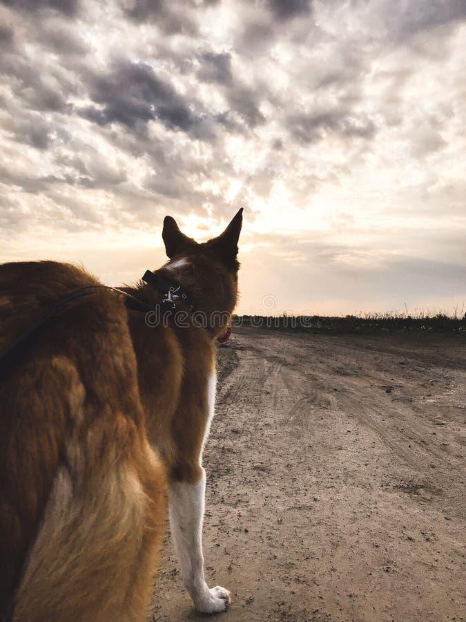Leuke gouden hond die en zich zonsondergang hemel bevinden bekijken Gelukkige sterke hond op achtergrond van zonsonderganghemel e stock afbeelding