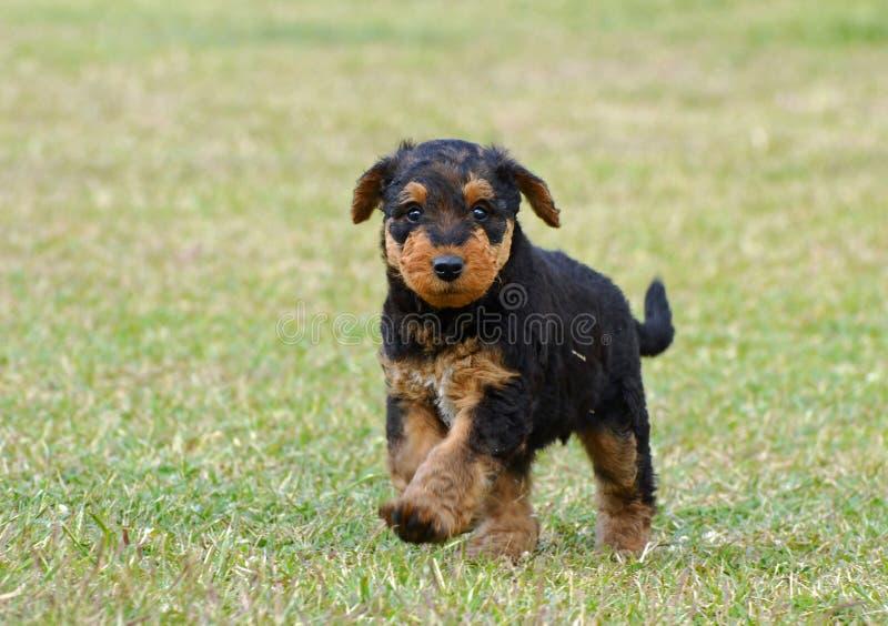 Leuke grappig pluizig weinig puppy die in openlucht lopen stock afbeelding