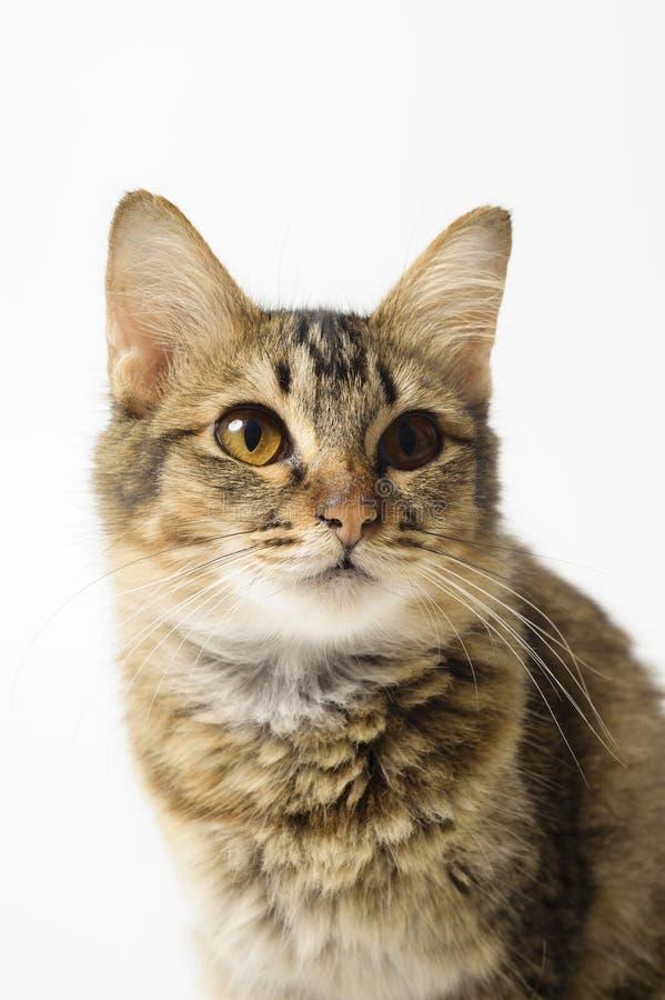 Leuke grappige grijze kat stock afbeelding