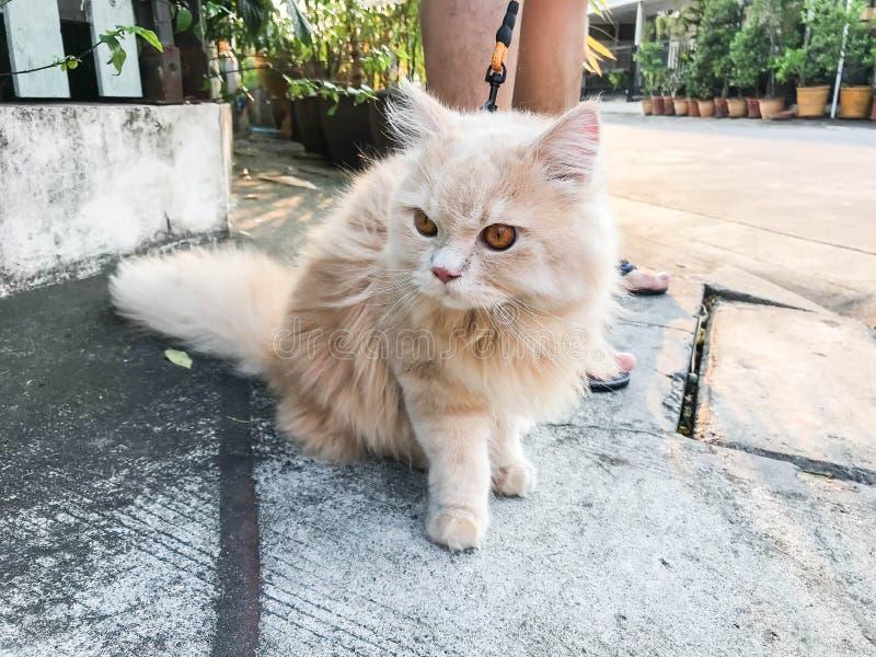 Leuke grappige oranje Perzische kat op betonweg voor het lopen met eigenaar stock foto's
