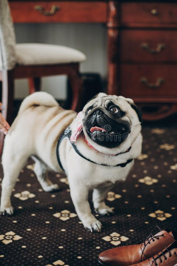Leuke grappige pug hond met roze vlinderdas die ochtendvoorbereidingen van familie vóór huwelijksceremonie bekijken Huisdieren bi stock fotografie