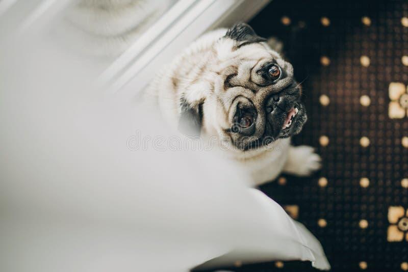 Leuke grappige pug hond met vlinderdas die omhoog van wit Tulle naar venster naar ochtendvoorbereidingen van familie vóór huwelij stock afbeeldingen