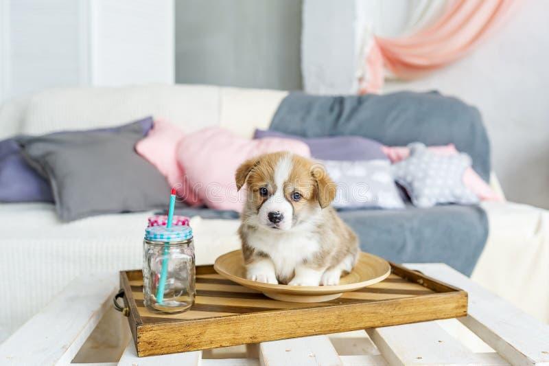 Leuke grappige puppyhond in plaat thuis stock afbeelding