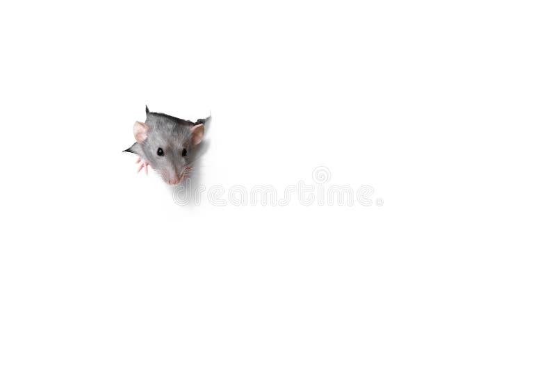 Leuke grappige rat die uit gat in Witboek kijken Huisdier - ramsdambo stock afbeelding