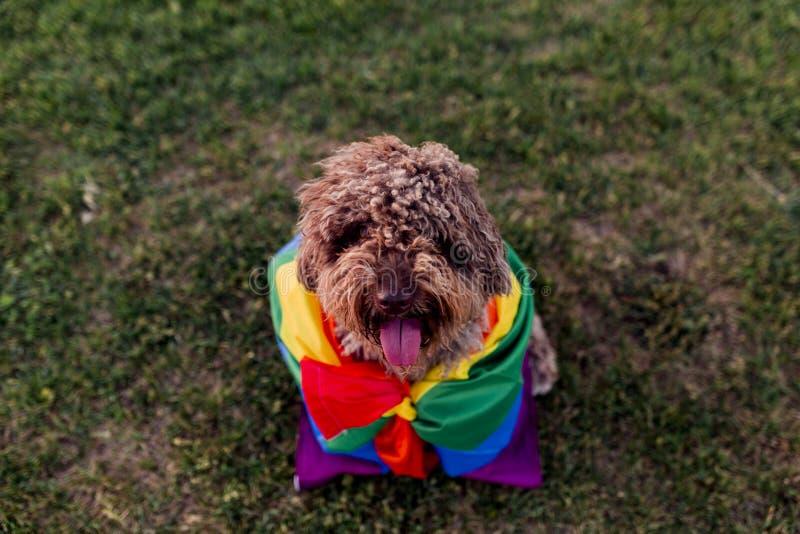 Leuke grappige Spaanse bruine waterhond met een kleurrijke regenboog vrolijke vlag Het concept van de trotsfestiviteit Levensstij royalty-vrije stock foto's