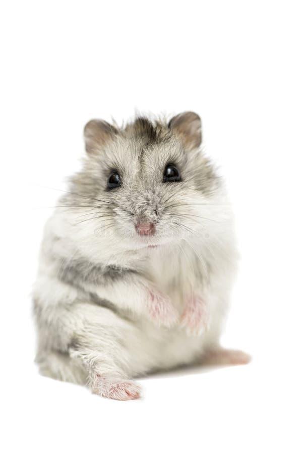 Leuke grappige Syrische die hamster op wit wordt geïsoleerd Syrische die hamster op witte achtergrond wordt geïsoleerd stock foto's