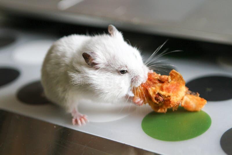Leuke grappige witte hamster die Apple eten royalty-vrije stock foto's