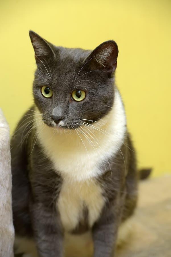 Leuke grijs met witte kat stock fotografie