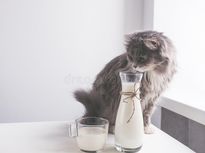 Leuke, grijze kat die verse melk drinken stock fotografie