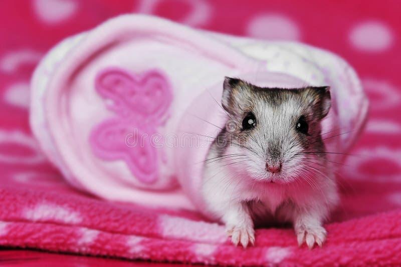 Leuke hamster royalty-vrije stock afbeeldingen
