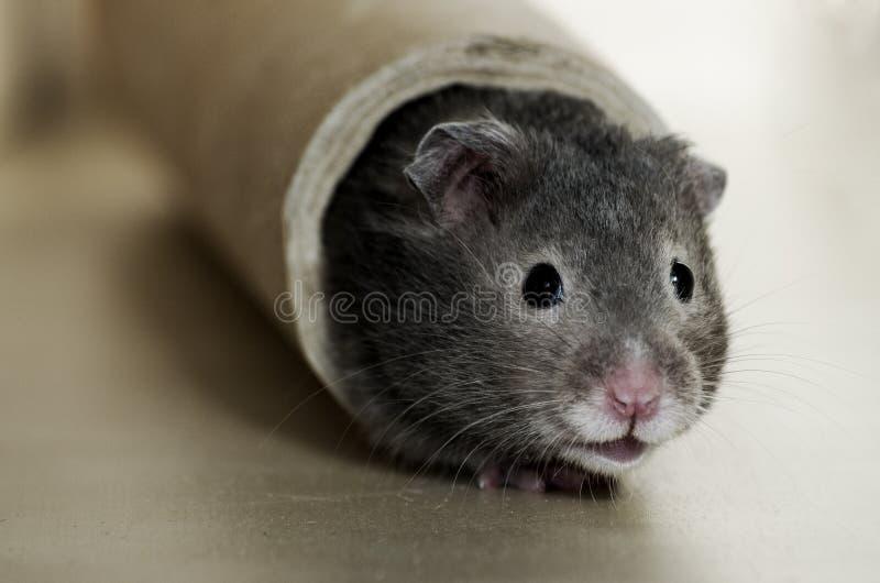 Leuke hamster stock foto