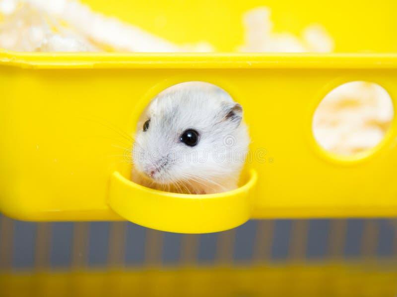 Leuke hamster die uit het venster gluren stock afbeeldingen