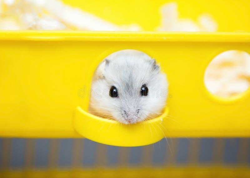 Leuke hamster die uit het venster gluren stock foto
