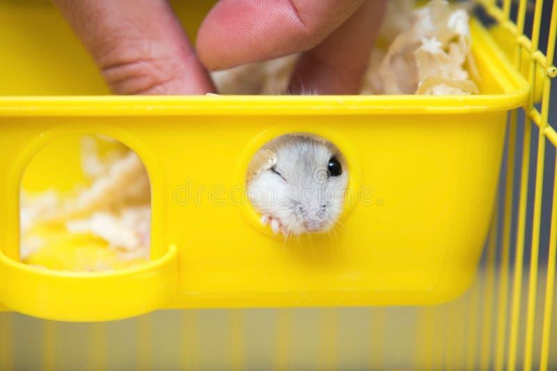 Leuke hamster die uit het venster gluren royalty-vrije stock foto
