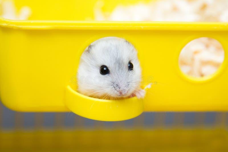 Leuke hamster die uit het venster gluren stock fotografie