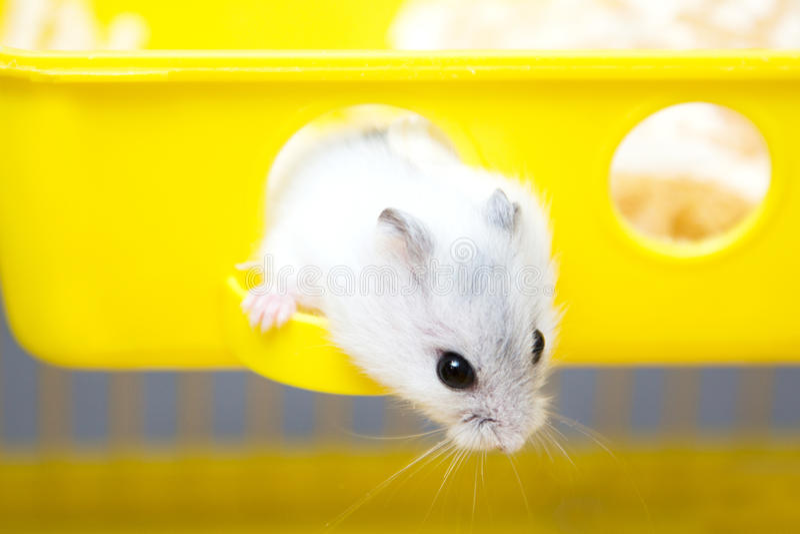 Leuke hamster die uit het venster gluren royalty-vrije stock afbeelding
