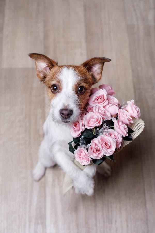 Leuke Hefboom Russell Terrier De dag van de valentijnskaart `s royalty-vrije stock afbeeldingen