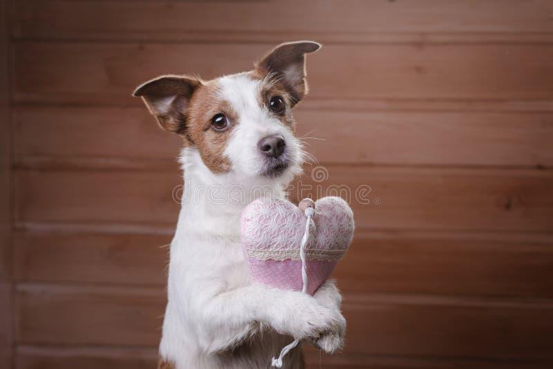 Leuke Hefboom Russell Terrier De dag van de valentijnskaart `s royalty-vrije stock afbeelding