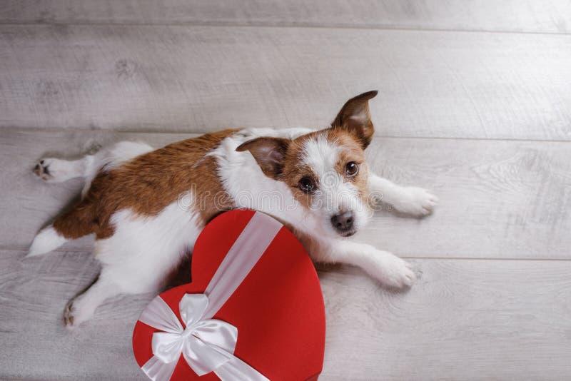 Leuke Hefboom Russell Terrier De dag van de valentijnskaart `s stock afbeeldingen