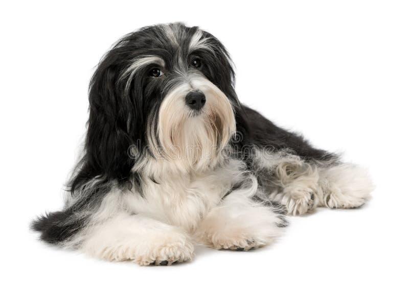 Leuke het liggen Bichon Havanese puppyhond royalty-vrije stock afbeeldingen