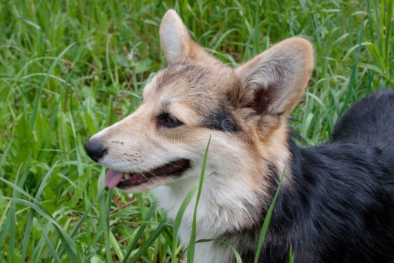 Leuke het puppy dichte omhooggaand van pembroke Welse corgi royalty-vrije stock afbeelding