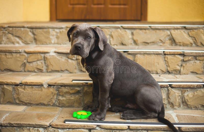 Leuke het puppy openluchtzitting van rietcorso op de huisportiek royalty-vrije stock foto