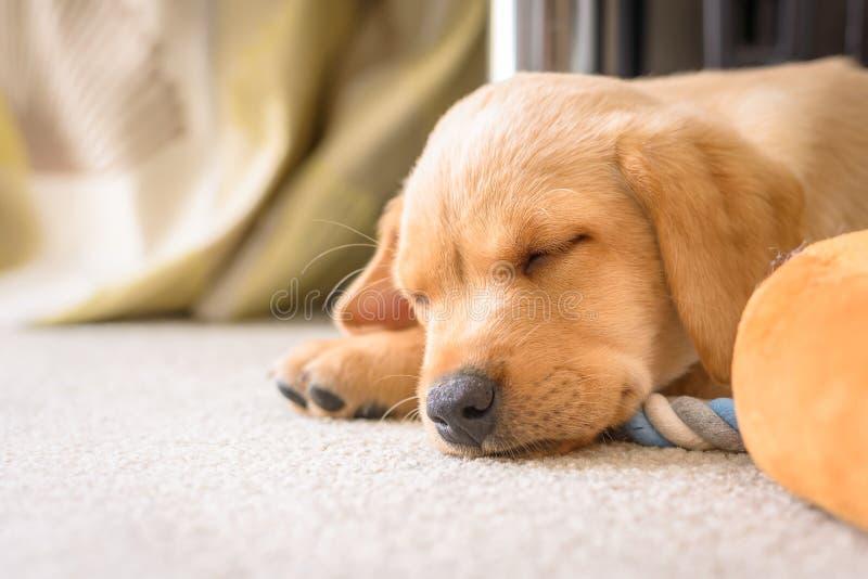 Leuke het puppyslaap van Labrador stock foto's