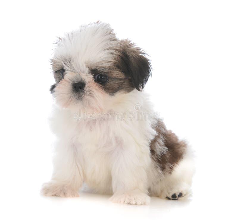 leuke het puppyzitting van shihtzu royalty-vrije stock fotografie