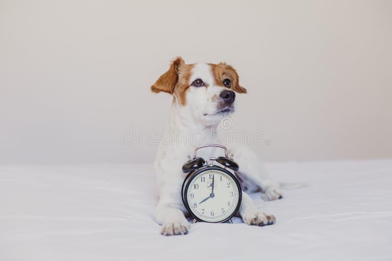 Leuke hond die die op bed met een wekker liggen op 8 am wordt geplaatst ochtend en kielzog op concept thuis Huisdieren binnen, le stock afbeelding