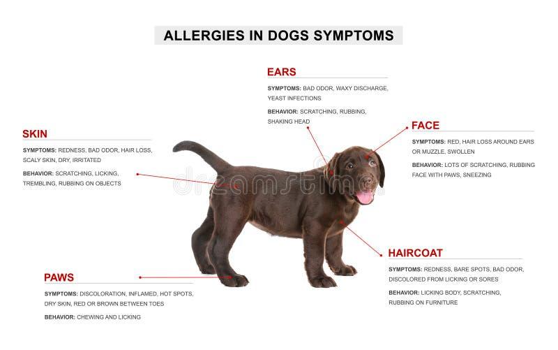 Leuke hond en lijst van allergieënsymptomen stock foto