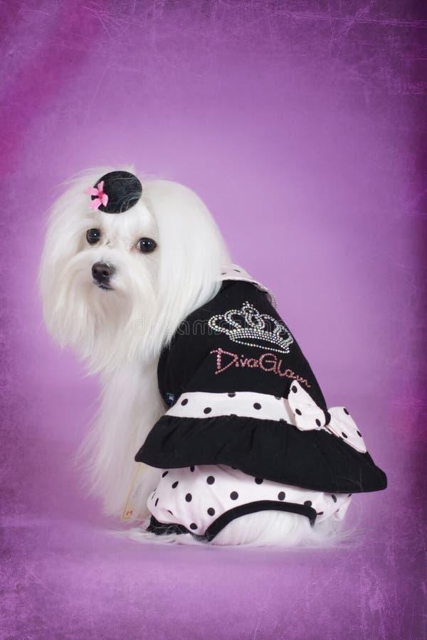Leuke hond Maltees in zwarte betoverende uitrusting royalty-vrije stock afbeelding