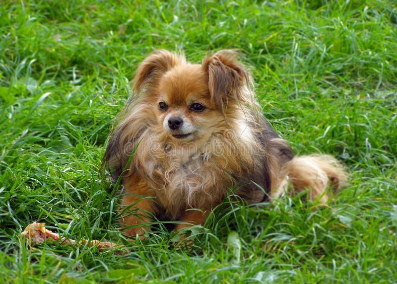 Leuke hond met een beenzitting op groen gras in een weide Grappig l royalty-vrije stock afbeeldingen