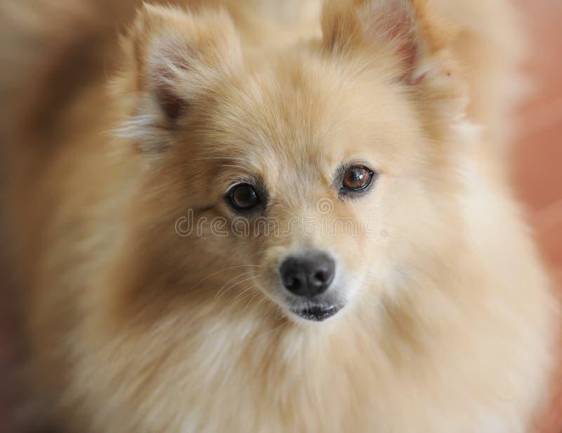 Leuke hond (shih tzu) royalty-vrije stock fotografie
