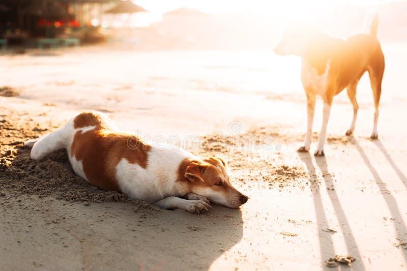 Leuke honden die op het zandige strand tijdens zonsondergang ontspannen Honden op het zandige strand Verdwaalde honden in Azië stock afbeeldingen