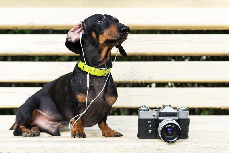 Leuke hondtekkel, zwarte en tan, in kraag, luisterend aan muziek met hoofdtelefoons, en uitstekende fotocamera die - in openlucht royalty-vrije stock fotografie