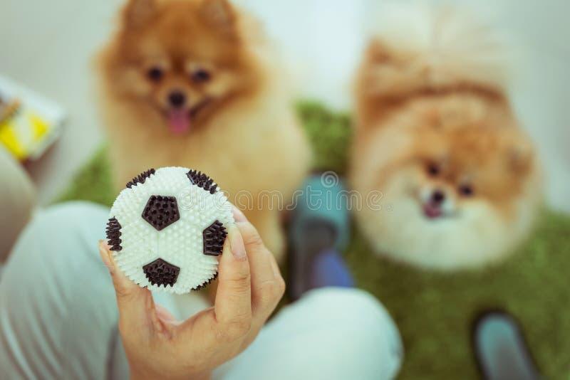 Leuke huisdieren pomeranian hond gelukkige het spelen bal royalty-vrije stock afbeeldingen