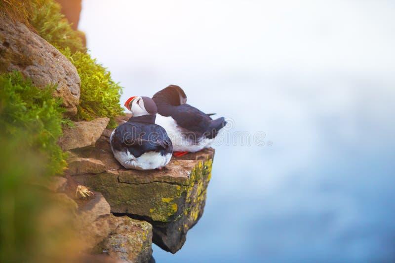 Leuke iconische papegaaiduikervogels, IJsland stock foto's