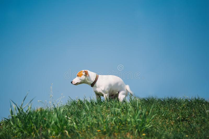 Leuke Jack Russell Terrier-hond die zijn toilet doen, die in gras tegen de achtergrond van de blauwe hemel pooping stock afbeelding