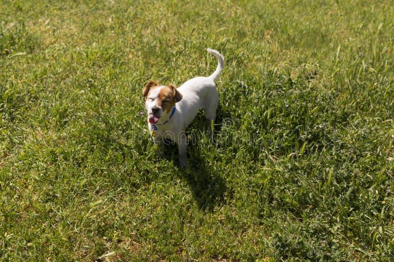 Leuke jonge hond die pret in een park in openlucht met zijn uit tong hebben royalty-vrije stock fotografie